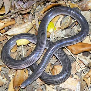 Blind Snake