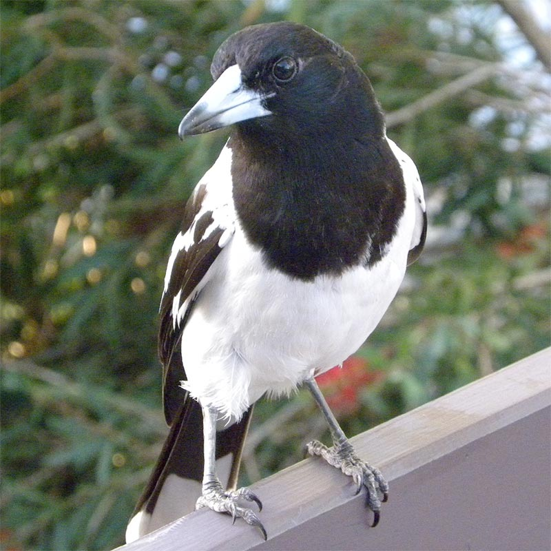 Bird removal of Butcherbird's