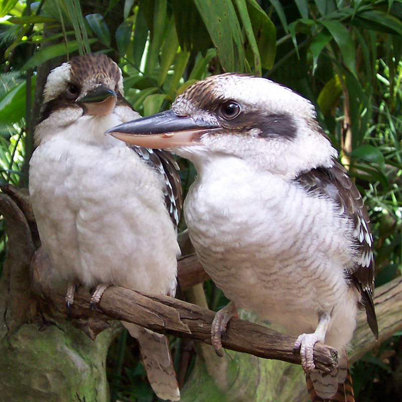 Bird removal of Kookaburra's