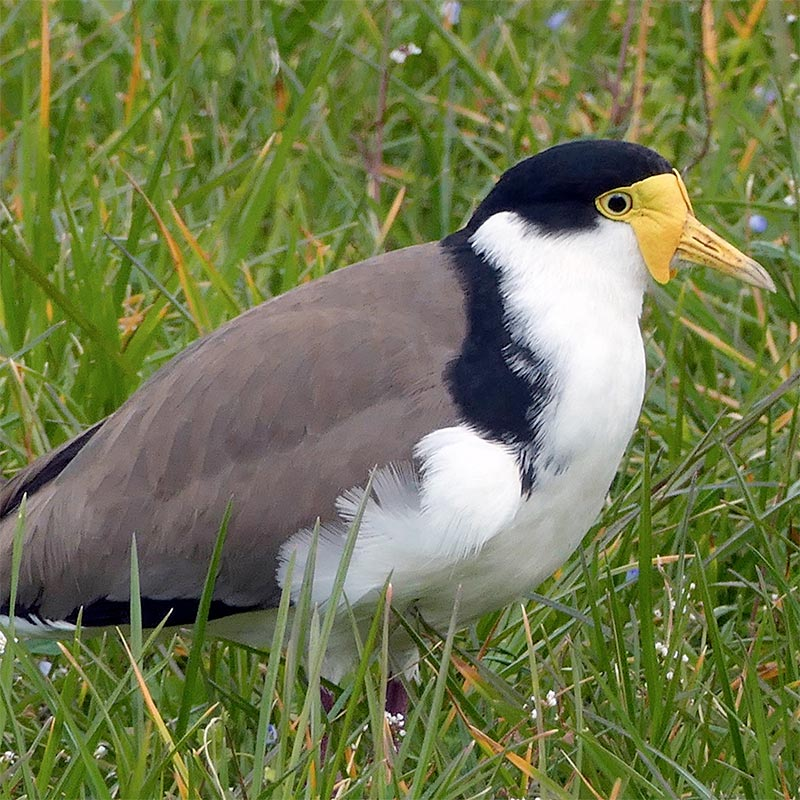 Bird removal of Masked Lapwing
