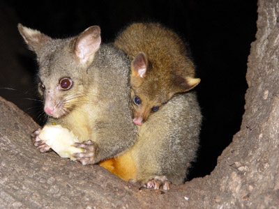 Common Brushtail With Young