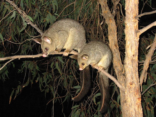 Common Brushtail possums in tree