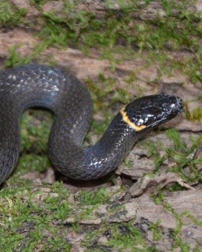 Dwarf Crowned Snake