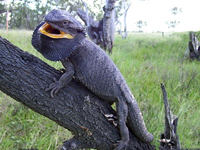 Eastern Bearded Dragon