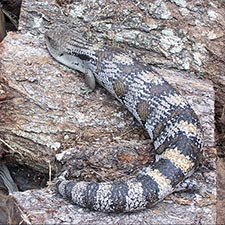 Lizards - Eastern Blue Tongue Skink
