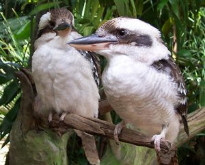 Kookaburras or Laughing Jackass