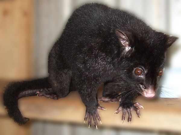 Mountian Brushtail Possum
