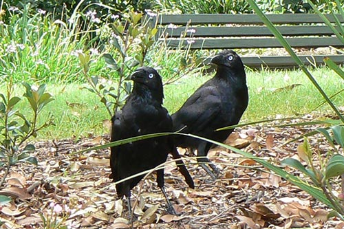 Pair of Crows