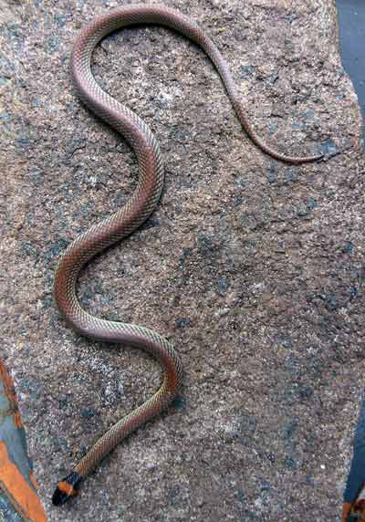 Red-napped Snake