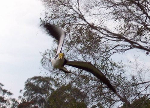 Swooping Masked Lapwing