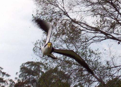 Swooping Masked Lapwing
