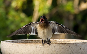 Juvenile Butcherbird