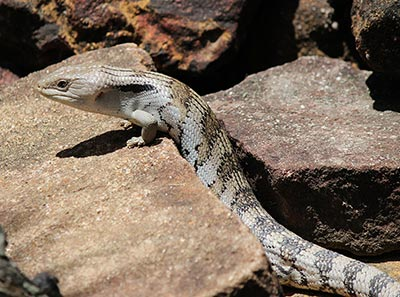 Eastern Blue Tongue Skink