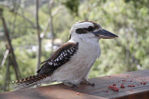 Avoid feeding a Kookaburra