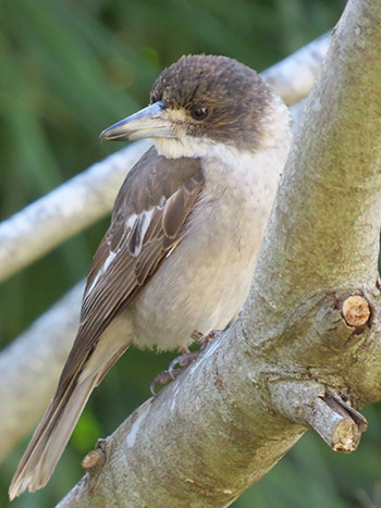 Grey Butcher bird removal