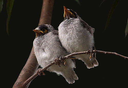 Noisy Miner Chicks