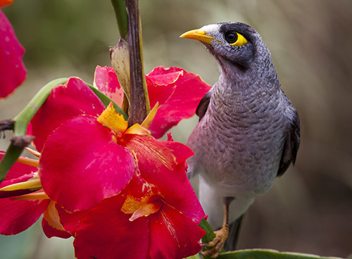 Noisy Miner on Flower