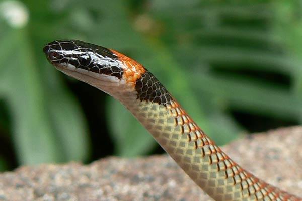 Gold Coast Snake Catchers