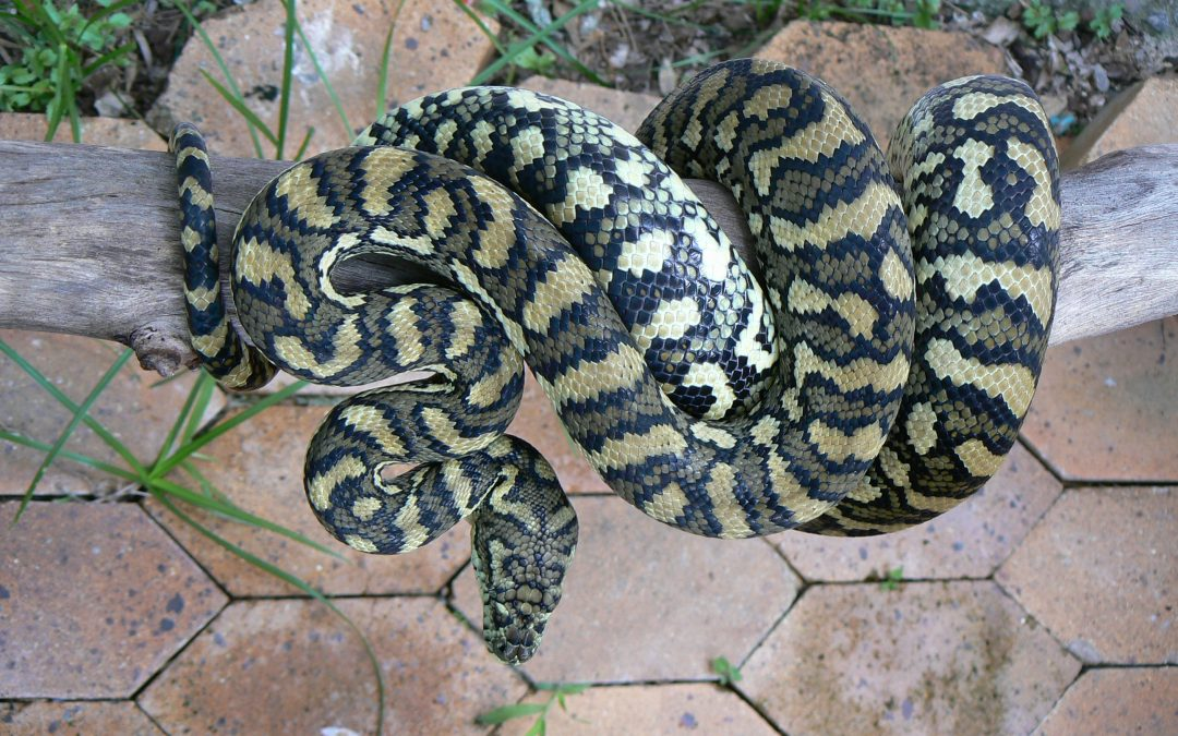 Powerful coastal carpet python (Morelia spilota) demonstrates concertina locomotion