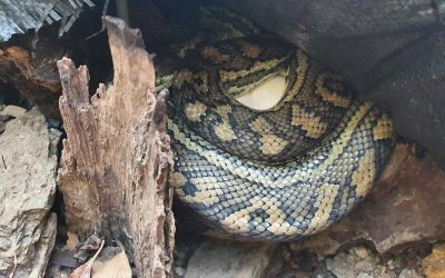 Jasmine the secretive carpet python from Chapel Hill
