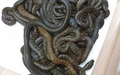Jasmine the Carpet Python – Three months later