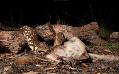 Discovery of spotted-tail quoll poo excites conservationists