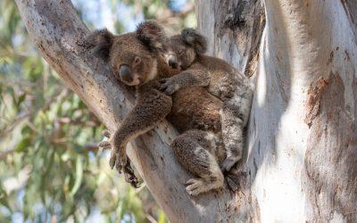 Carpet python predation on koalas in South East Queensland