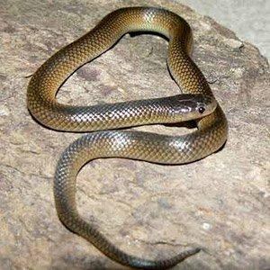 Carpentaria Whip Snake
