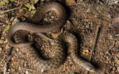 A case of mistaken identity, how to identify a harmless keelback snake