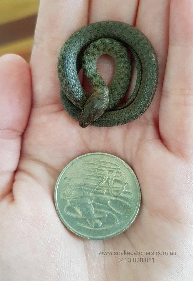 a juvenile keelback snake