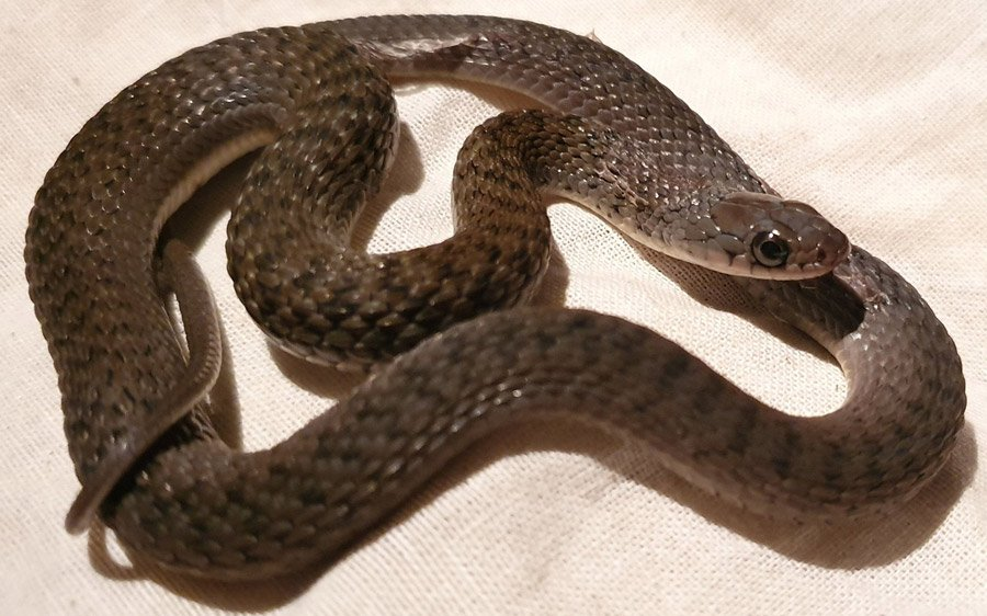 A young keelback snake