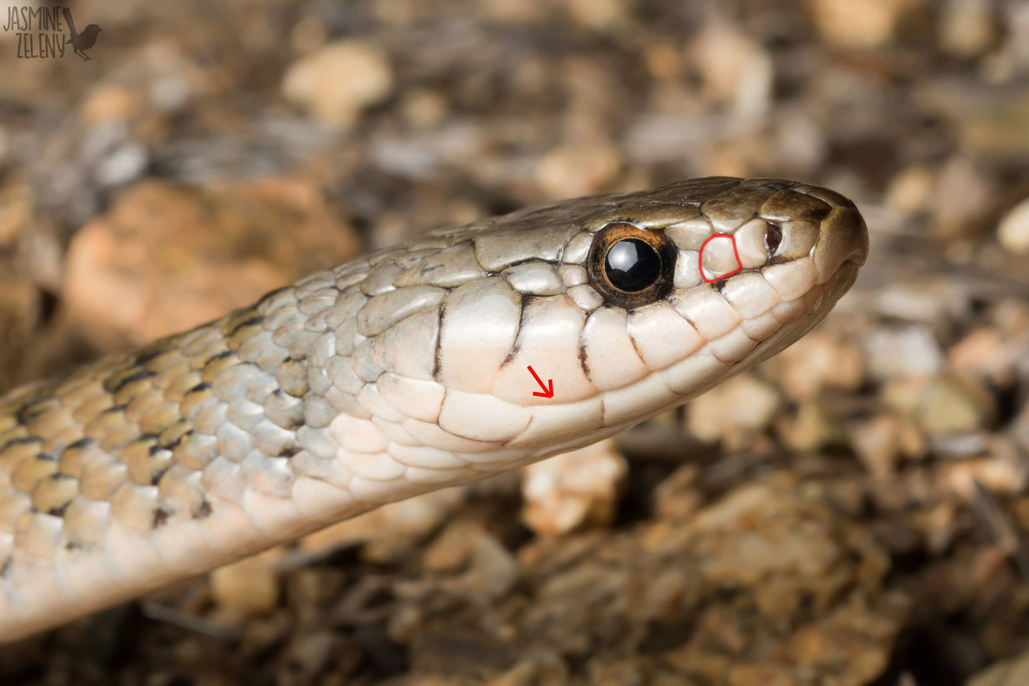 head of keelback snake